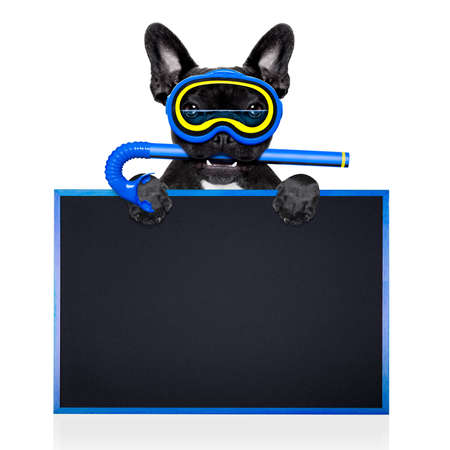animal masks: Snorkeling scuba diving french bulldog dog  with mask and fins , behind blank blackboard or placard,  isolated on white background Stock Photo
