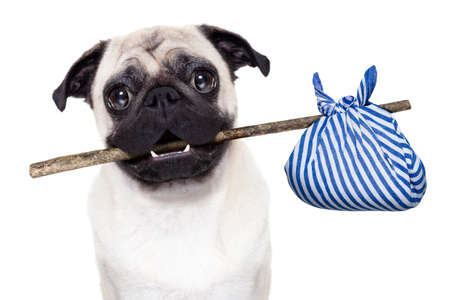 come home: pug dog abandoned and left all alone on the road or street, with luggage bag  , begging to come home to owners, Stock Photo