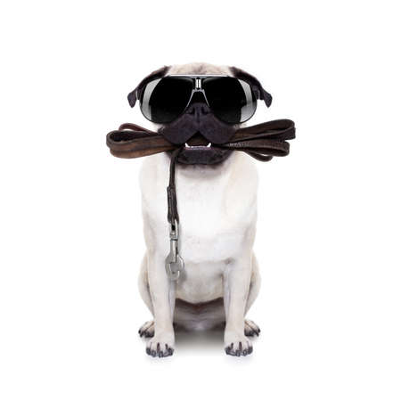 leash: pug dog with leather leash ready for a walk with owner,with cool sunglasses,  isolated on  white background