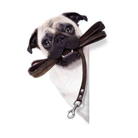 marcheur: chien carlin en laisse en cuir prêt pour une promenade avec le propriétaire, à côté vierge bannière vide ou affiche, isolé sur fond blanc