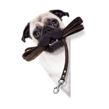 obedient: pug dog with leather leash ready for a walk with owner, beside blank empty banner or placard, isolated on  white background
