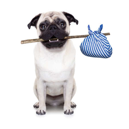 placard: pug dog abandoned and left all alone on the road or street, with luggage bag  , begging to come home to owners, Stock Photo