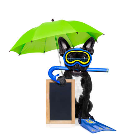 frenchie: snorkeling scuba diving french bulldog dog  with mask and fins , holding  blank blackboard or placard,  isolated on white background with umbrella Stock Photo