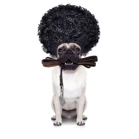 흰색 배경에 고립 된 재미있는 발, 아프리카 머리를 입고 소유자와 함께 산책을위한 준비 가죽 끈에 pug 개