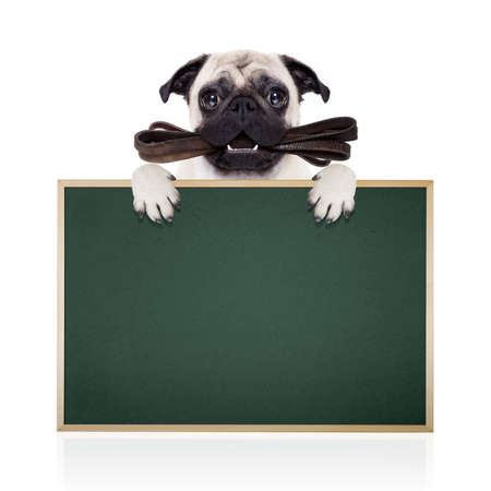 placard: pug dog with leather leash ready for a walk with owner, behind blank empty  blackboard or placard, isolated on  white background Stock Photo