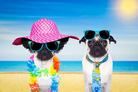 hawaiian lei: couple of pug dogs in love , relaxing at the beach on summer vacation holidays, ocean shore and sun as background Stock Photo