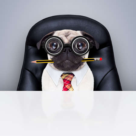 burnout: office businessman pug dog  as  boss and chef , busy and burnout , sitting on leather chair and desk, in need for vacation