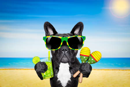 fun in the sun: brazil french bulldog dog enjoying summer vacation holidays,with cocktail drink  at the beach , ocean shore and sun as background