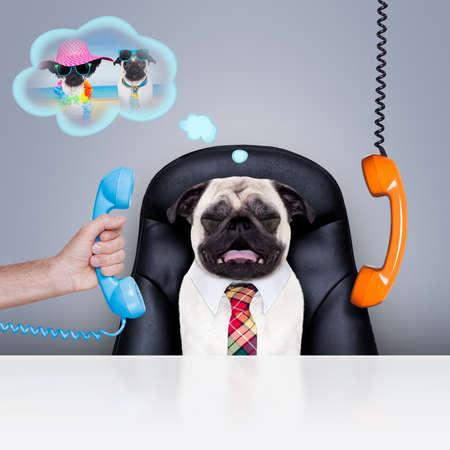Bürokaufmann Mops Hund als Chef und Koch, beschäftigt und Burnout, sitzen auf Lederstuhl und Schreibtisch, in der Notwendigkeit für den Urlaub Standard-Bild