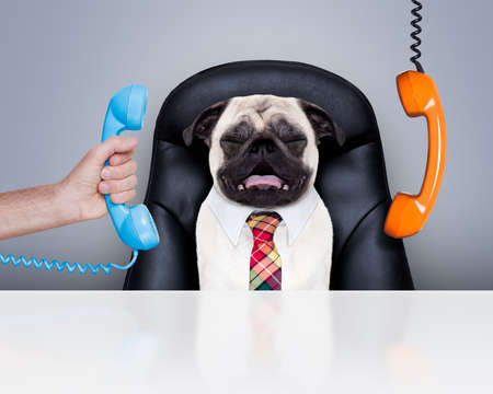 office zakenman pug hond als baas en chef-kok, druk en burn-out, zittend op een leren stoel en een bureau, telefoon opknoping rond Stockfoto