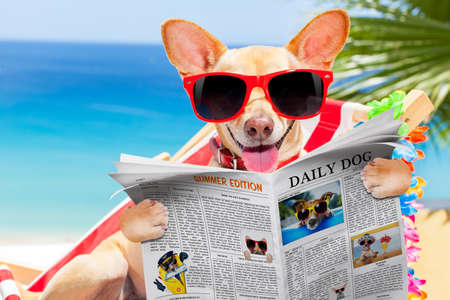 chihuahua dog relaxing on a fancy red hammock with red sunglasses reading newspaper or magazine, on summer vacation holidays at the beach Stock Photo
