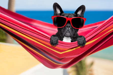 french fancy: french bulldog dog relaxing on a fancy red  hammock  with red sunglasses, on summer vacation holidays at the beach
