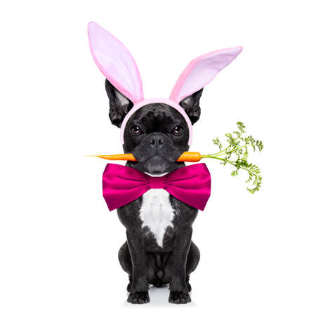 french bulldog dog with  carrot in mouth and easter bunny ears ,isolated on white background