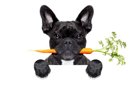 healthy food eating french bulldog with vegan or vegetarian carrot in mouth,behind  blank banner or placard, isolated on white background 스톡 콘텐츠