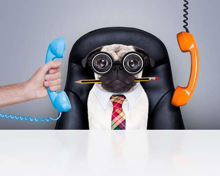 Bürokaufmann Mops Hund als Chef und Koch, beschäftigt und Burnout, sitzen auf Leder Stuhl und Schreibtisch, Telefon hanging around