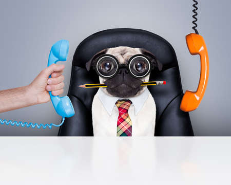 burnout: office businessman pug  dog  as  boss and chef , busy and burnout , sitting on leather chair and desk, telephones hanging around