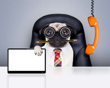 screen: office businessman pug dog with pen or pencil in mouth  , behind laptop pc tablet screen computer,  sitting on a leather chair Stock Photo
