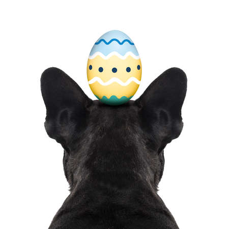 frenchie: french bulldog dog looking straight, from behind showing back and  rear torso , while sitting , with easter holidays decorated egg on head, isolated on white background