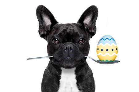 french bulldog dog with spoon in mouth with easter egg, isolated on white background