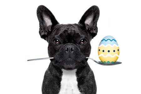 bouledogue français chien avec une cuillère dans la bouche avec de l'oeuf de pâques, isolé sur fond blanc
