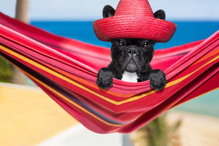 french fancy: french bulldog dog relaxing on a fancy red  hammock  with red mexican hat , on summer vacation holidays at the beach