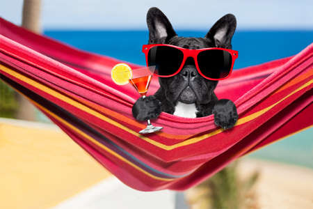french fancy: french bulldog dog relaxing on a fancy red  hammock  with sunglasses and martini cocktail drink, on summer vacation holidays at the beach