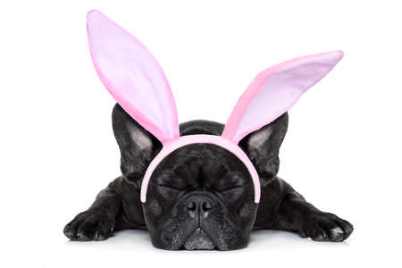 french bulldog dog sleeping on the ground with funny easter bunny ears, isolated on white background Stock Photo