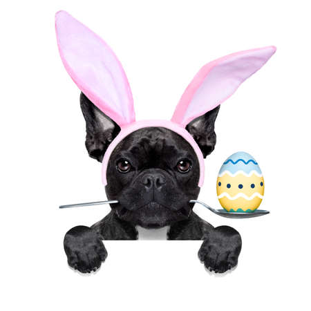 frenchie: french bulldog dog with   spoon in mouth with easter  egg and easter  bunny ears ,behind banner or placard, isolated on white background