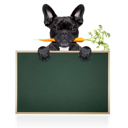 placard: healthy food eating french bulldog with vegan or vegetarian carrot in mouth,behind  blank blackboard or placard, isolated on white background