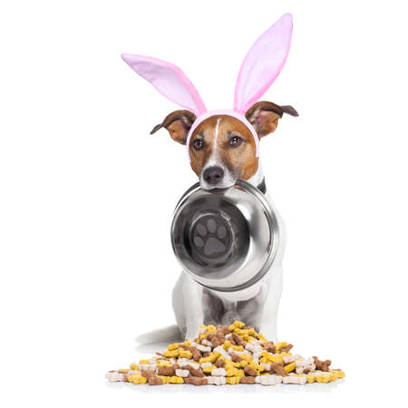 doggies: easter bunny ears jack russell dog , hungry with  food bowl in mouth, behind mound of bowl , isolated on white background