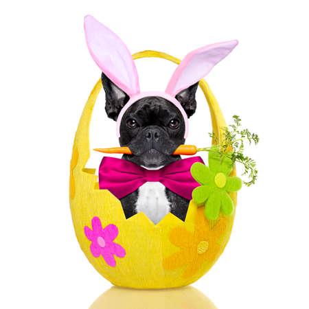Französisch Bulldog Hund mit Karotte in den Mund und Osterhasenohren, innerhalb eines Ostern dekoriert Ei, isoliert auf weißem Hintergrund Standard-Bild