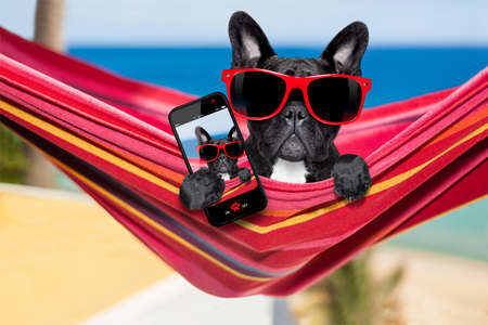 frenchie: french  bulldog dog relaxing on a fancy red  hammock taking a selfie and sharing the fun with friends at the beach on summer vacation holidays Stock Photo