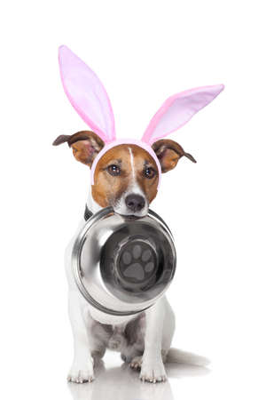 dog in costume: easter bunny ears jack russell dog , hungry with  food bowl in mouth, isolated on white background