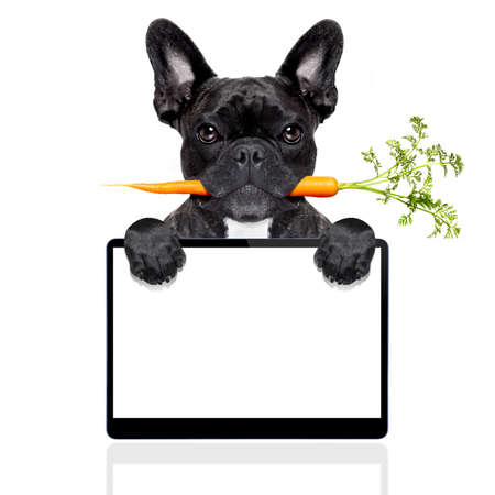 screen: healthy food eating french bulldog with vegan or vegetarian carrot in mouth,behind  blank pc computer tablet screen , isolated on white background