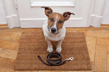 jack russell dog waiting a the door at home with leather leash, ready to go for a walk with his owner