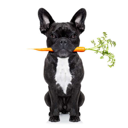 placard: healthy food eating french bulldog with vegan or vegetarian carrot in mouth, isolated on white background