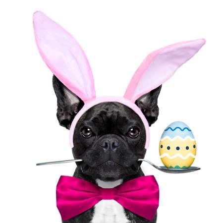 perros vestidos: perro bulldog francés con la cuchara en la boca con huevo de Pascua y orejas de conejo de Pascua, la celebración de la pizarra en blanco o pancarta, aisladas sobre fondo blanco Foto de archivo