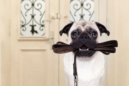 Mops Hund die Tür zu Hause mit Lederleine in den Mund, bereit zu gehen für einen Spaziergang mit seinem Besitzer warten
