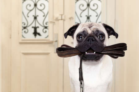 pug dog  waiting a the door at home with leather leash in mouth , ready to go for a walk with his owner Archivio Fotografico