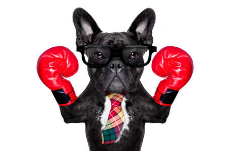 french bulldog boxing dog with big red gloves ,businessman , manager, or secretary isolated on white background.