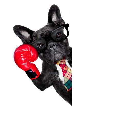 french bulldog boxing dog with big red gloves businessman , manager, or secretary isolated on white background, behind banner , placard or blackboard