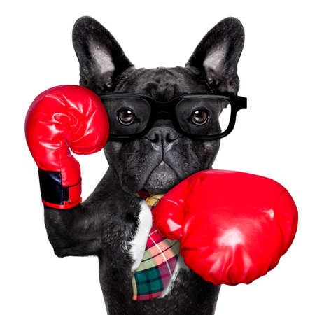 french bulldog boxing dog with big red gloves businessman , manager, or secretary isolated on white background.