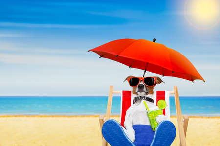 jack russell dog with caipirinha cocktail  on a beach chair with sunglasses under umbrella , on summer vacation holidays
