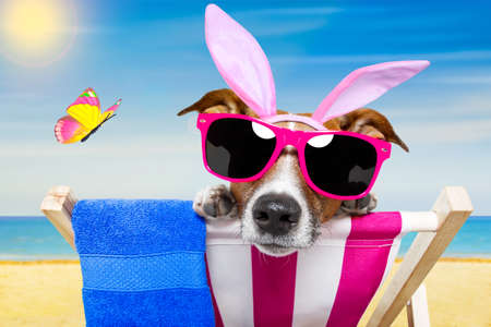 jack rabbit: jack russell dog on a hammock , during easter holidays, with bunny ears, at the beach