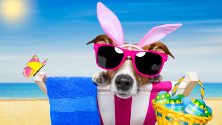 jack rabbit: jack russell dog on a hammock , during easter holidays, with bunny ears, at the beach, egg basket included Stock Photo