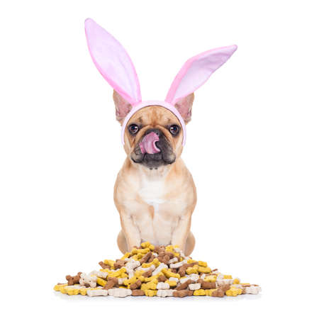 easter bunny ears french bulldog dog , hungry and licking with tongue ,behind mound of food , isolated on white background