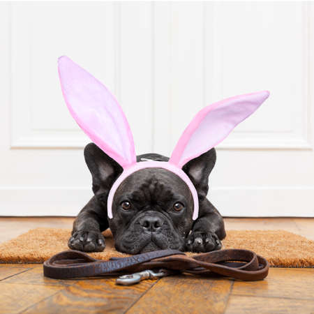 go for: french bulldog dog waiting for go for a walk with owner , with easter bunny ears on head. leather leash on the floor Stock Photo