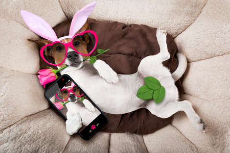 lovers in bed: jack russell  dog looking and staring at you   with easter bunny ears taking a selfie and  a rose in mouth