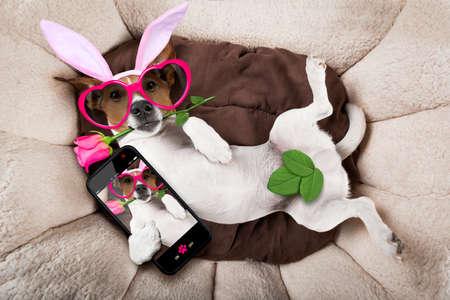 amantes en la cama: Jack Russell perro mirando y mirando a usted con orejas de conejo de pascua que toma una autofoto y una rosa en la boca