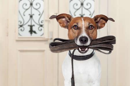 Jack Russell cane in attesa di una porta a casa con il guinzaglio in pelle in bocca, pronto ad andare a fare una passeggiata con il suo proprietario